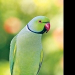 Indian Ringneck high definition photo