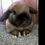 Mini Holland Lop (rabbit) download wallpaper