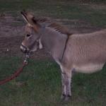 Miniature Donkey photo
