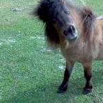 Miniature Horse image