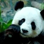 Pandas images