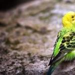 Parakeet breed