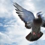 Pigeon pic