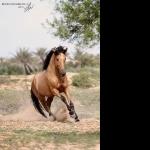Quarter Horse X Appaloosa new wallpapers