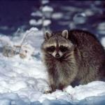 Raccoon free download