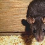 Rat download wallpaper