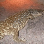 Savannah Monitor funny