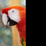 Scarlett Macaw background