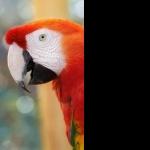 Scarlett Macaw background