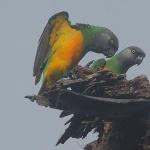 Senegal Parrot hd
