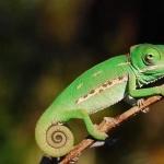 Veiled Chameleon cute