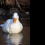 White Ducks widescreen