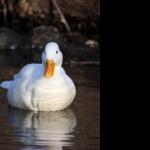 White Ducks widescreen