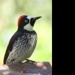 Acorn Woodpecker hd pics