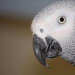 African Grey Parrot wallpaper