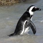 African Penguin desktop wallpaper