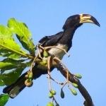 African Pied Hornbill hd pics