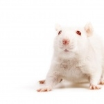 Albino Mouse background