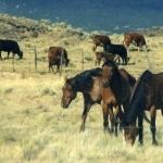 American Quarter Horse new wallpaper
