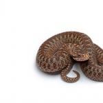Brown Snake free