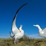 Campbell Albatross hd photos