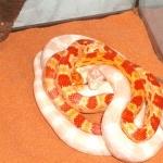 Corn Snake photo