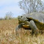 Desert Tortoise hd desktop