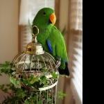 Eclectus Parrot pics