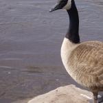 Goose pic