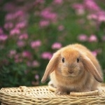 Mini Lop Rabbit new photos