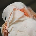 Moluccan Cockatoo hd pics
