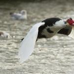 Muscovy Duck hd pics