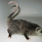 Opossum pics
