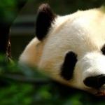 Panda breed