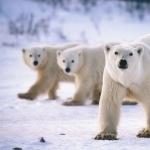 Polar Bears pics