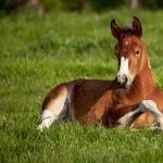 Quarter Horse X Appaloosa hd pics