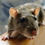 Rat 1080p