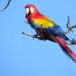 Scarlett Macaw breed