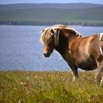 Shetland Pony widescreen