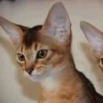 Abyssinian wallpaper