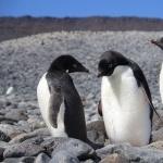 Adelie Penguin pics
