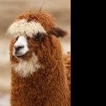 Alpaca hd desktop