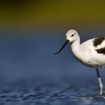 American Avocet hd