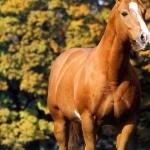 American Quarter Horse image