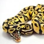 Ball Python pics