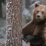 Bear 1080p