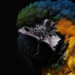 Blue-and-yellow Macaw hd desktop