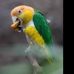 Caique free wallpapers