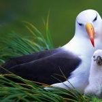 Campbell Albatross wallpapers hd