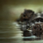 Crocodile wallpapers